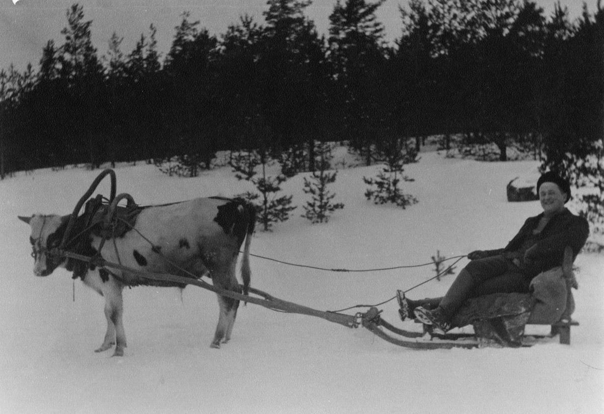 Johan Edwin Nieminen Mattilan talosta Nurmijärven kirkonkylästä lehmän vetämässä reessä talvella, 1920-luku.